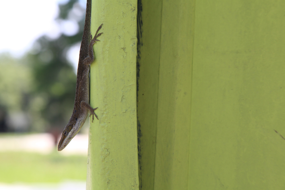 Anole lizards are welcome at the Grow Dat Youth Farm since they eat harmful bugs. The lizards find safe habitats in the the farm's separation walls made up of rocks and wire instead of cement. NYT Institute I Dacia Idom